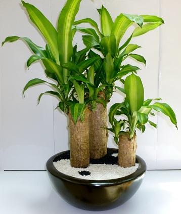 La planta de la felicidad nutricionar te - Cuidados plantas interior ...